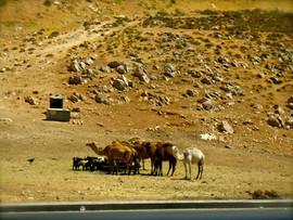 Amman, Jordan camels by road.jpg