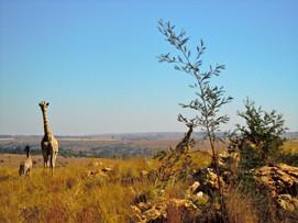 Cape Town giraffer 2.jpg