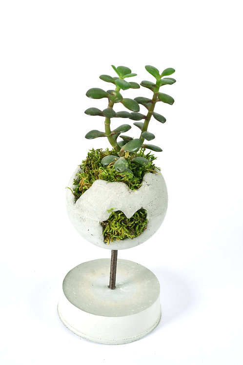 Grabuge World Crassula