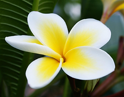 Frangipani, Music, Flowers, Weddings, Catering