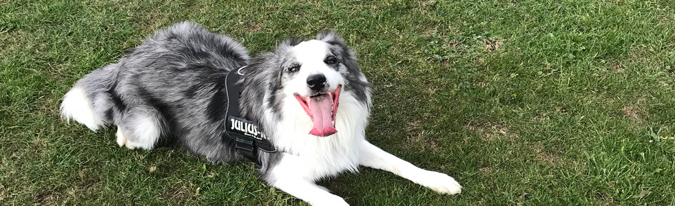 Merlin. Dog walk
