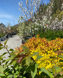 Spirea and Blooms