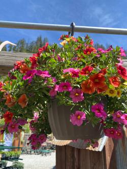 Hanging Basket Sun