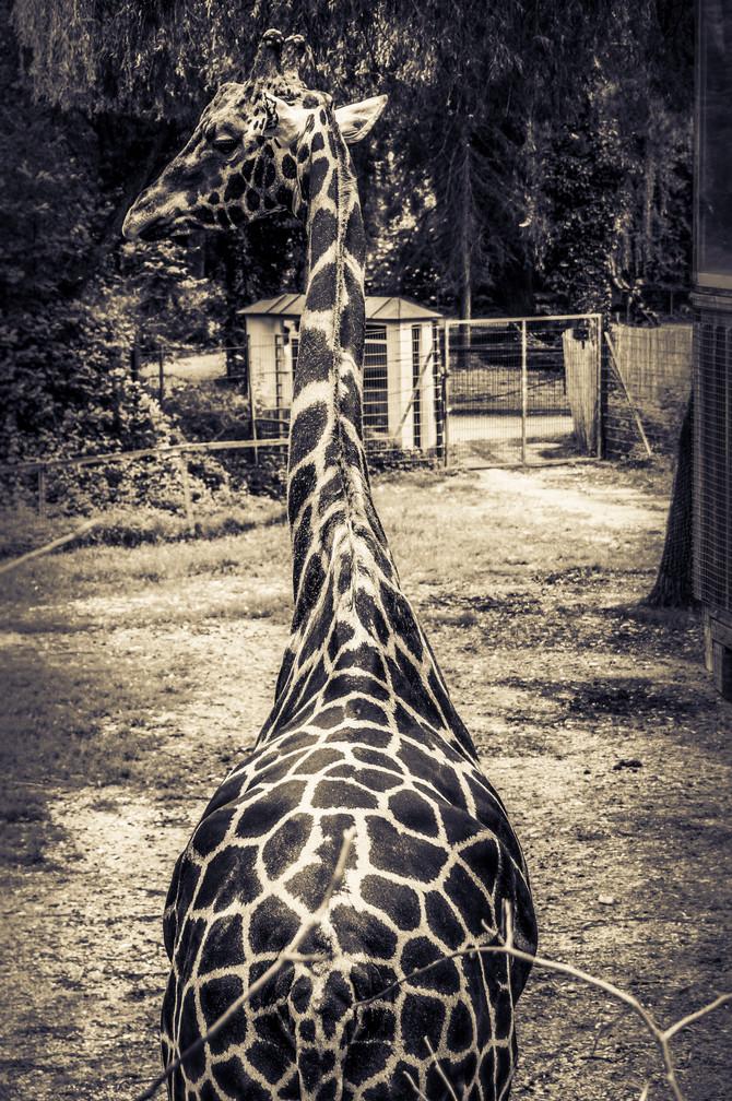Die relaxte Giraffe