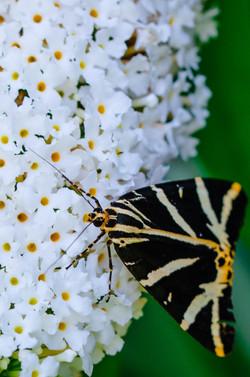 Schmetterling-3