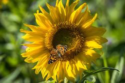 Sonnenblume_Schmetterling