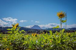 Sonnenblume_Traunstein