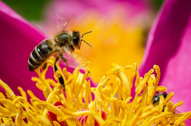 Bienen im Pfingstrosenstrauch