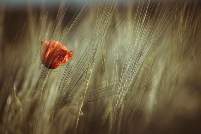 Mohnblumen im goldenen Feld