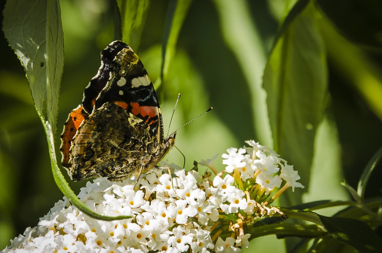 Schmetterlinge-5