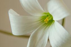 Kleeblattblume