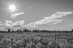 Sonnenblumen_SW-2