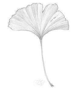 ginkgo-baloba-leaf.jpg
