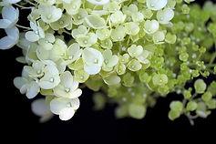 hydrangea-5598478_640.jpg