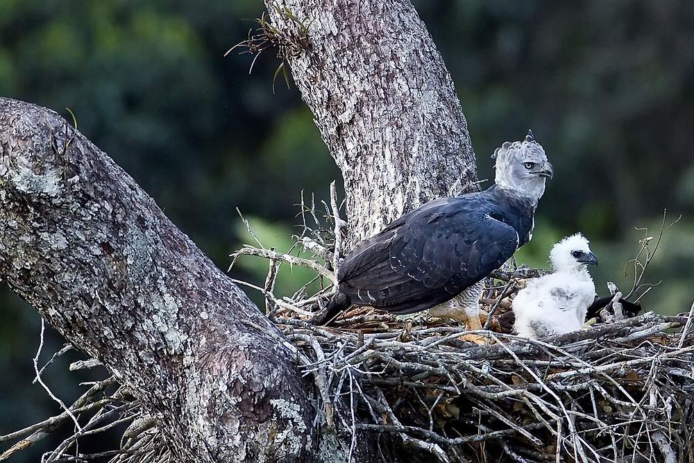 Harpia com filhote no ninho.