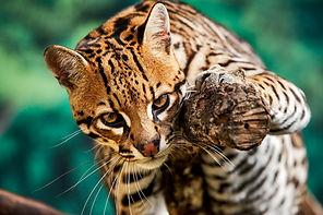 ocelot or dwarf leopard (Leopardus pardalis)