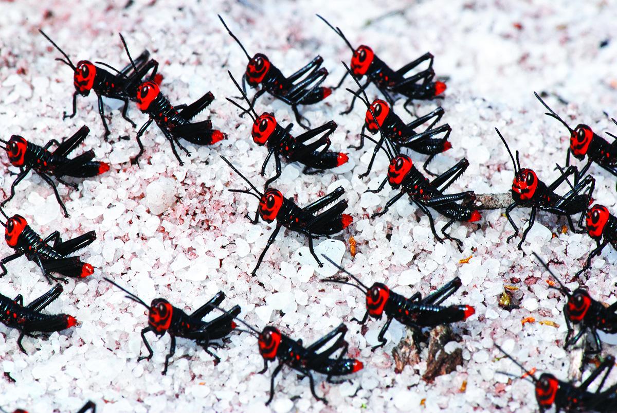 31-Grasshopper nymph (Ordem Orthoptera) copy.jpg