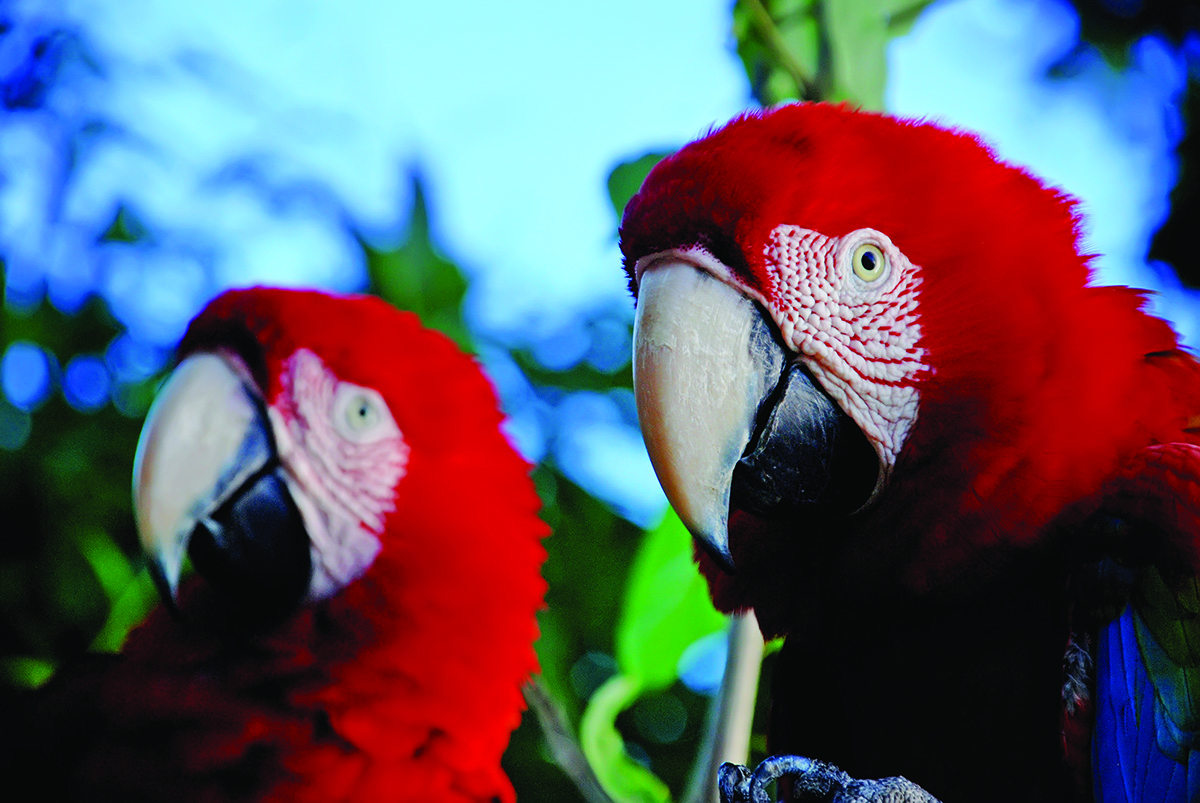 32-Red-and-green Macaw (Ara chloropterus) copy