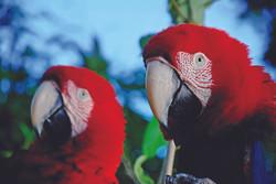 32-Red-and-green Macaw (Ara chloropterus) copy