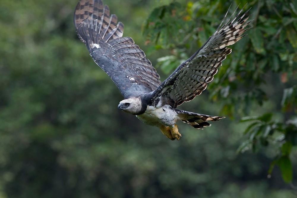 Harpia predando tatu e carregando-o em pleno voo.