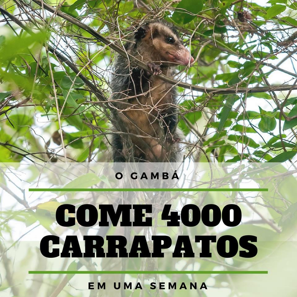O Gamba Pode Comer 4000 Carrapatos Em Uma Semana