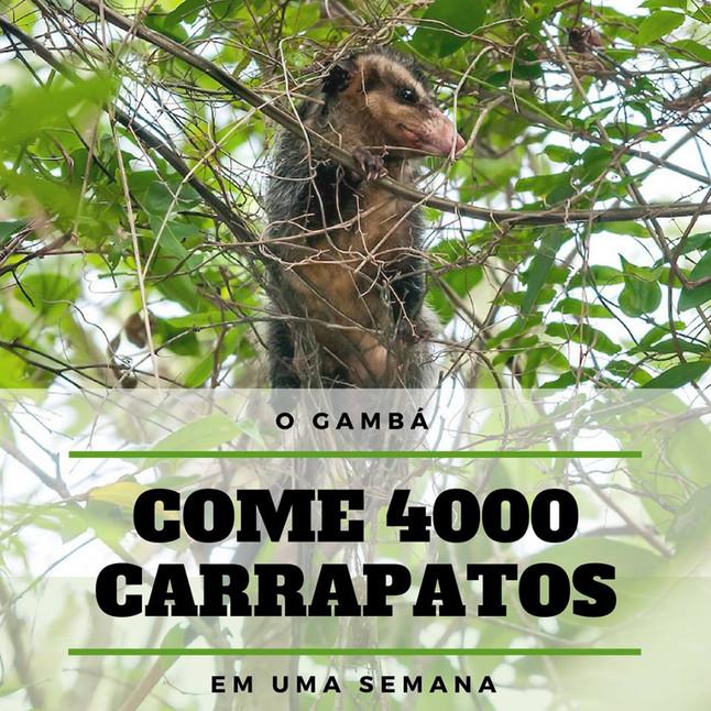 O gambá pode comer 4000 carrapatos em uma semana!