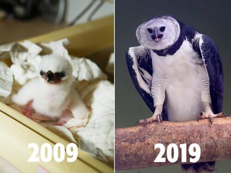 Veja como foi o nascimento da 1ª Harpia do Refúgio Biológico de Itaipu, e ela 10 anos depois.