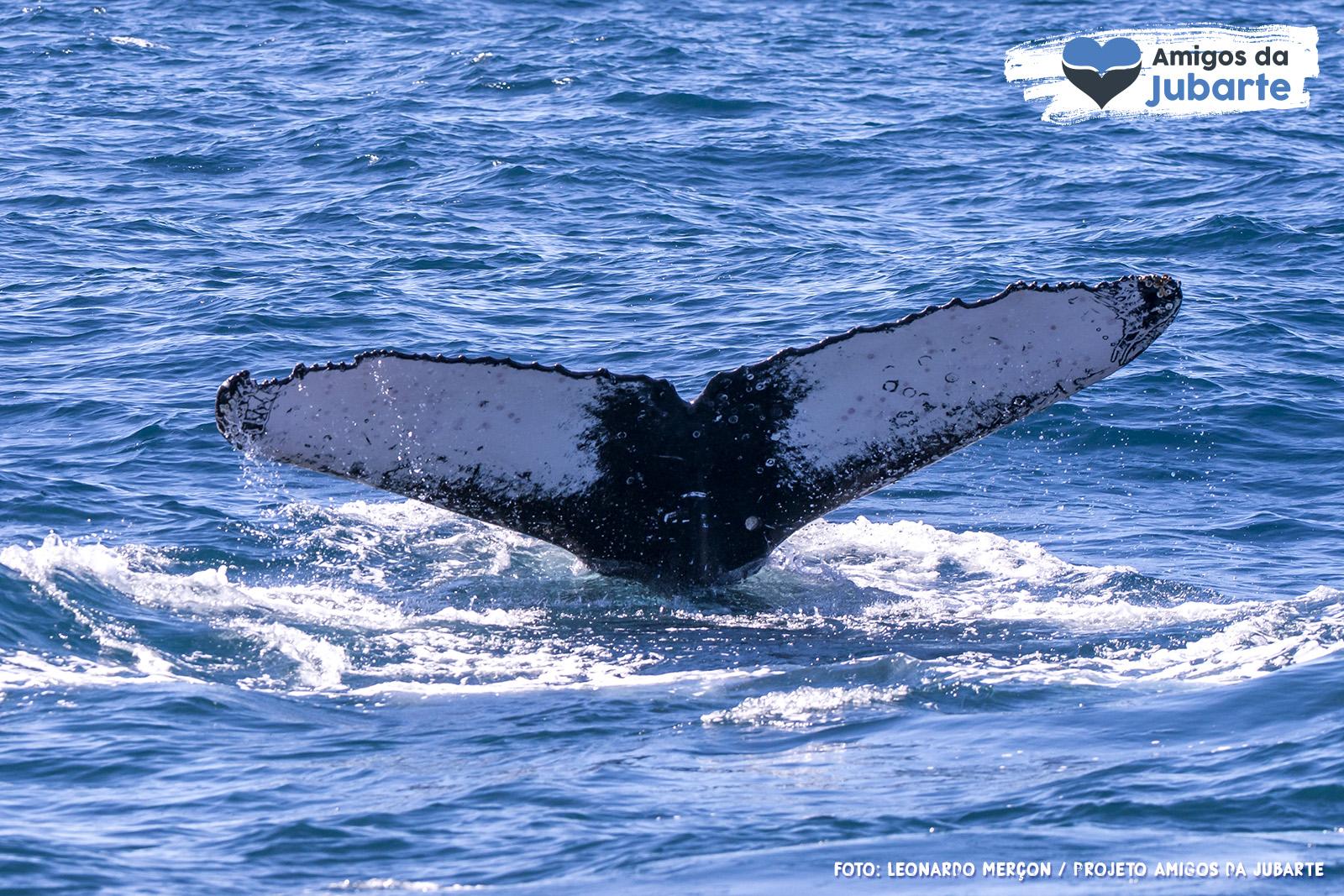 Cauda de Baleia-Jubarte