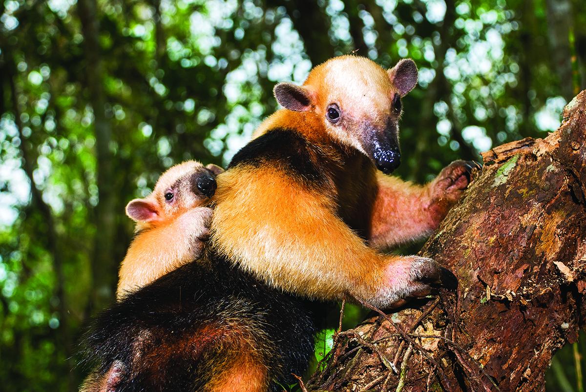 27-Southern tamandua (Tamandua tetradactyla) copy.jpg