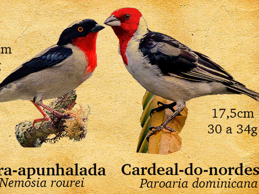 Saiba a diferença entre a saíra-apunhalada e o cardeal-do-nordeste!