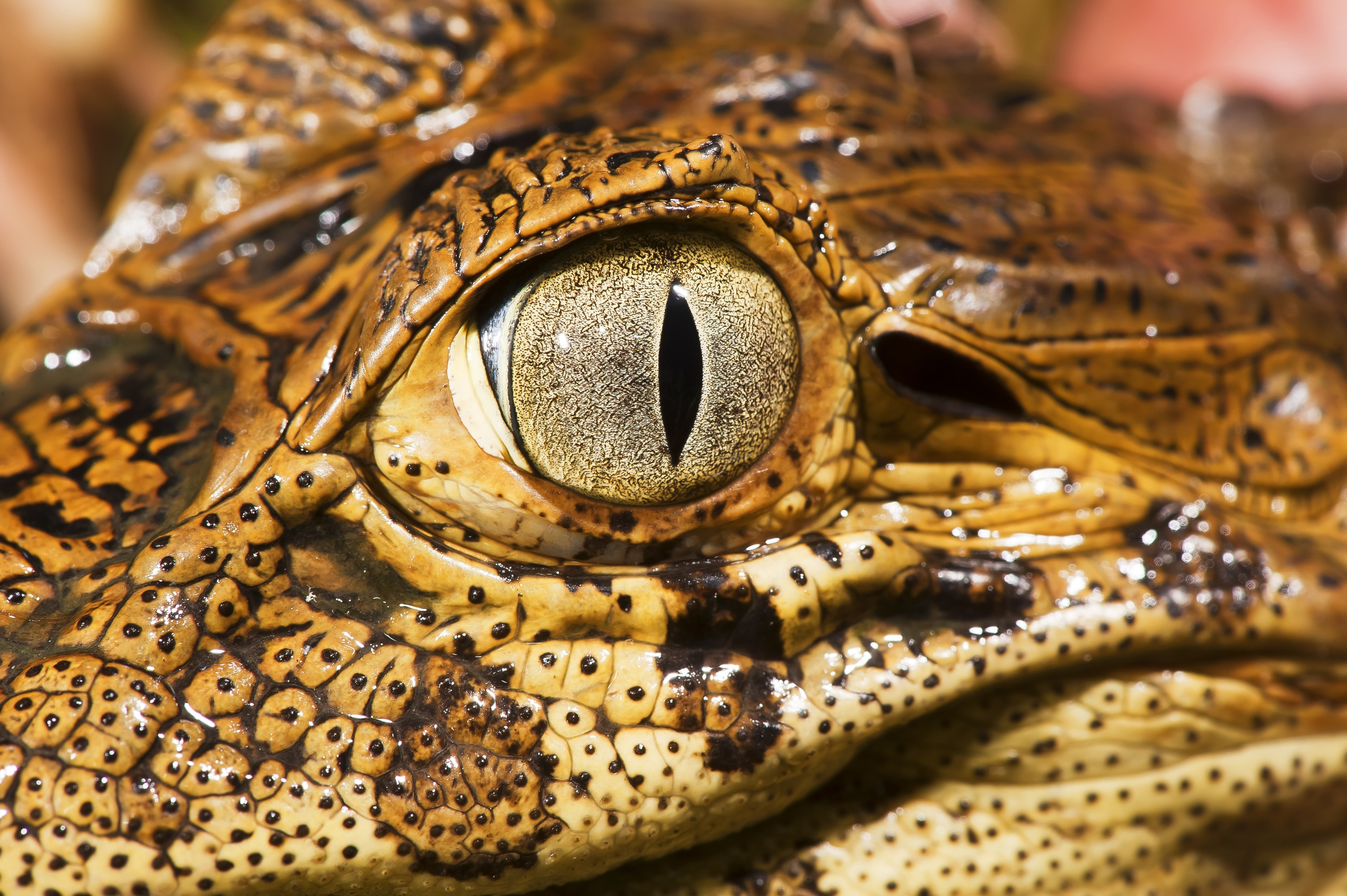Eye of a baby broad-snouted caiman_State Park Itaunas_Leonardo Mercon.JPG