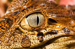 Eye of a baby broad-snouted caiman_State Park Itaunas_Leonardo Mercon.JPG