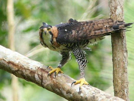O belíssimo gavião-de-penacho