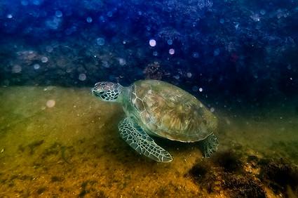 Tartaruga-verde_Chelonia_Mydas-001_Leona