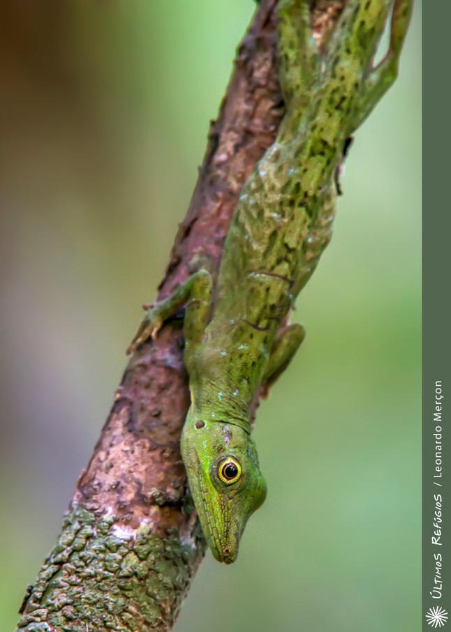Existem camaleões no Brasil?
