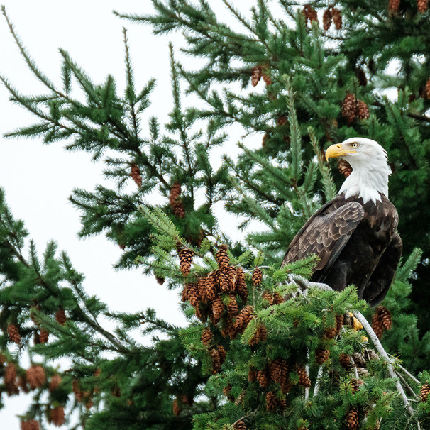 Bald Eagle in a Pine Tree