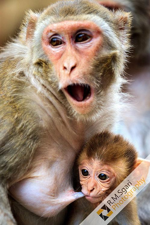 Ref.30015 - Monkeys (Índia)