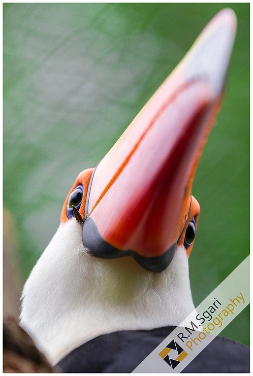 Ref.30003 - Toucan