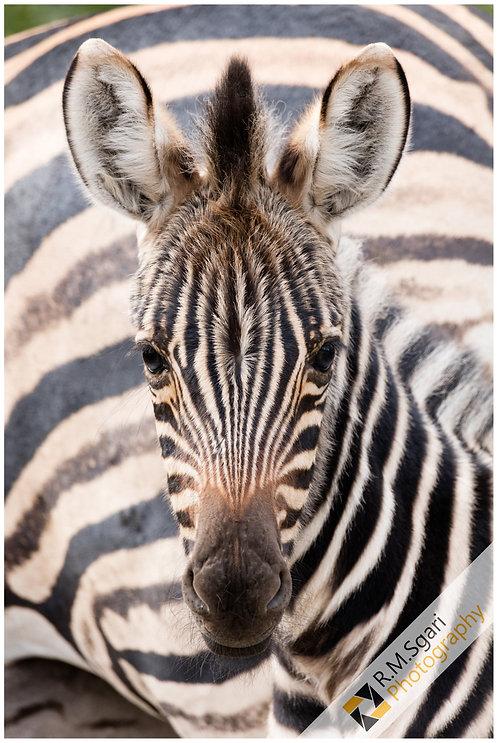Ref.30008 - Zebra (África)