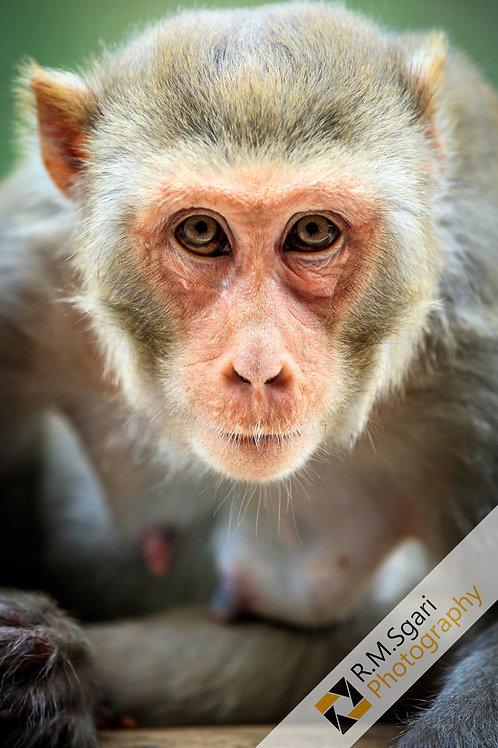 Ref.30016 - Monkey (Índia)