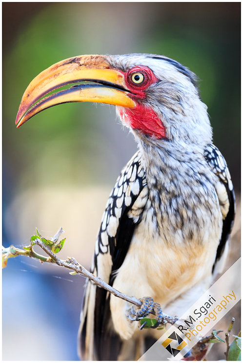 Ref.30005 - Shouthern Yellow-Billed Hornbill (África)