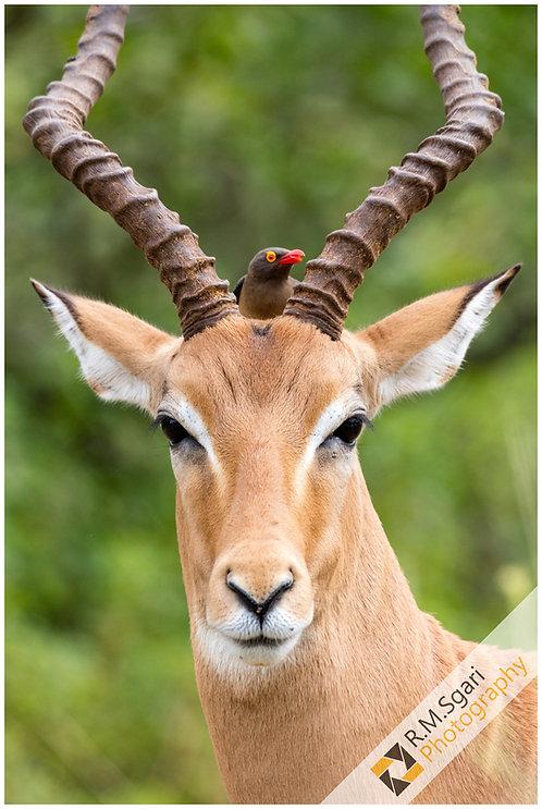 Ref.30007 - Antelope (África)
