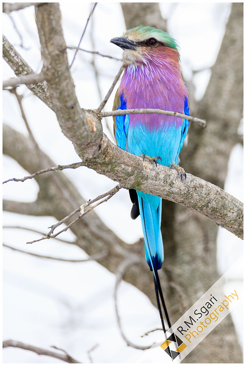 Ref.30004 - Lilac-Breasted Roller (África)