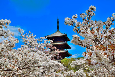 仁和寺の春.jpg