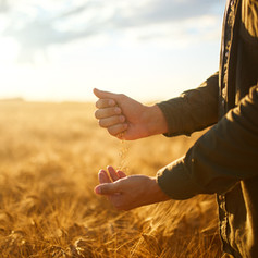 Hand-of-a-farmer-holding-wheat-grains-In