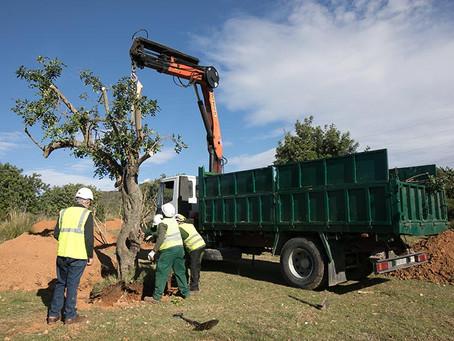 Viladecans trasplanta 270 arbres al futur Barri de Llevant