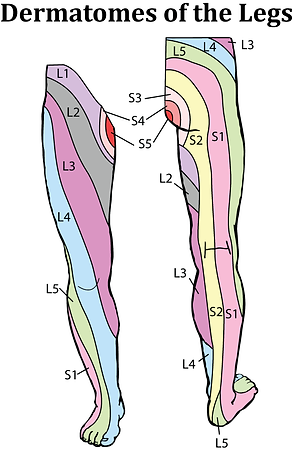 dermatome-legs.png