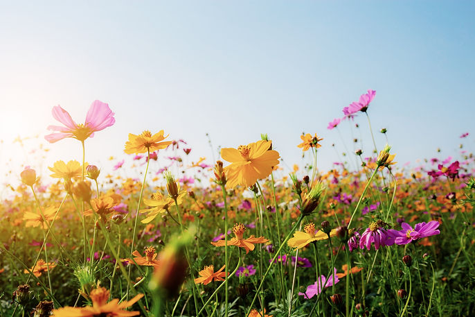 cosmos-in-field-with-sunset.jpg