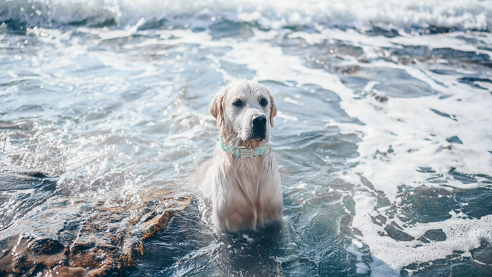happy-cheerful-golden-retriever-swimming