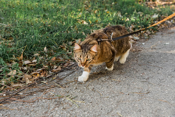 front-view-cute-tabby-cat-with-collar-wa